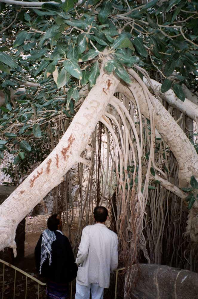 Olivier Le bars sous un arbre de voeux-Aden