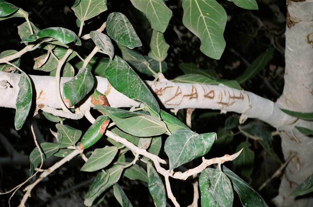 Aden-branche avec écriture